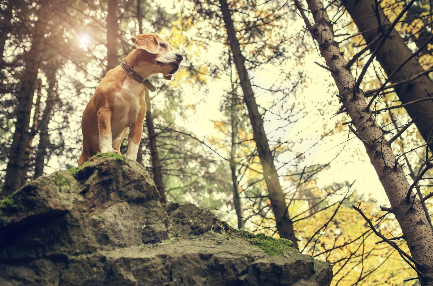 Beagle portrait in autumn forest