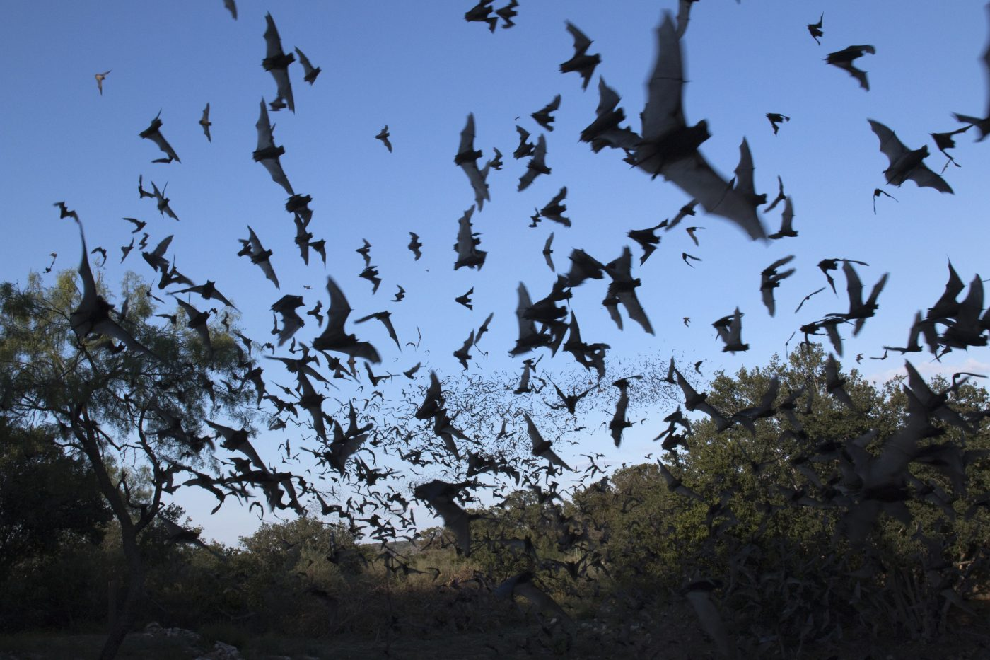 Clouds of Mexican free-tailed bats Texas