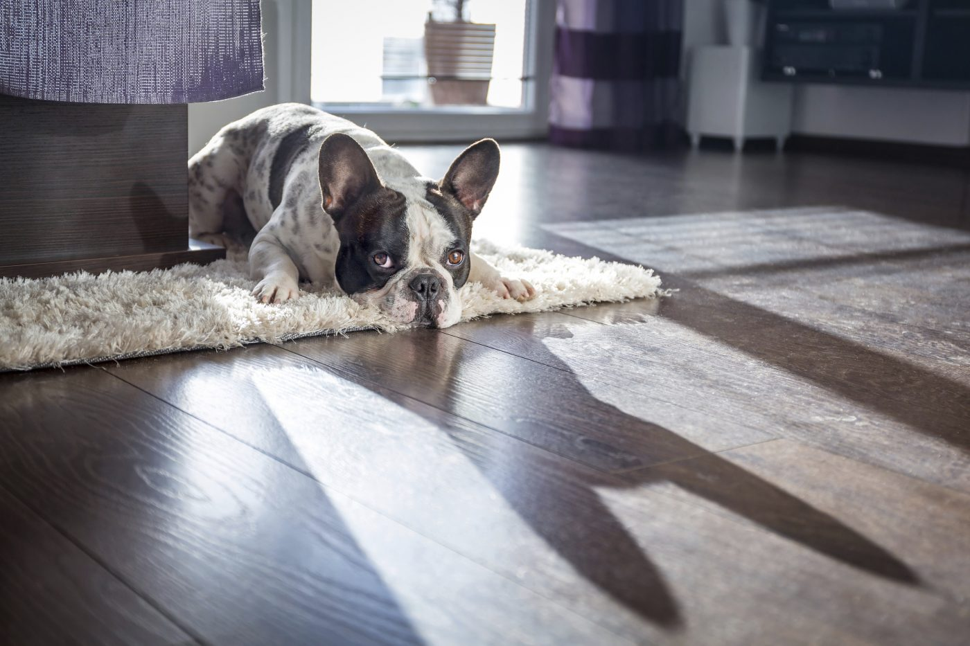 French bulldog at home