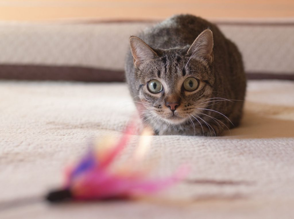A cat plays with a toy.