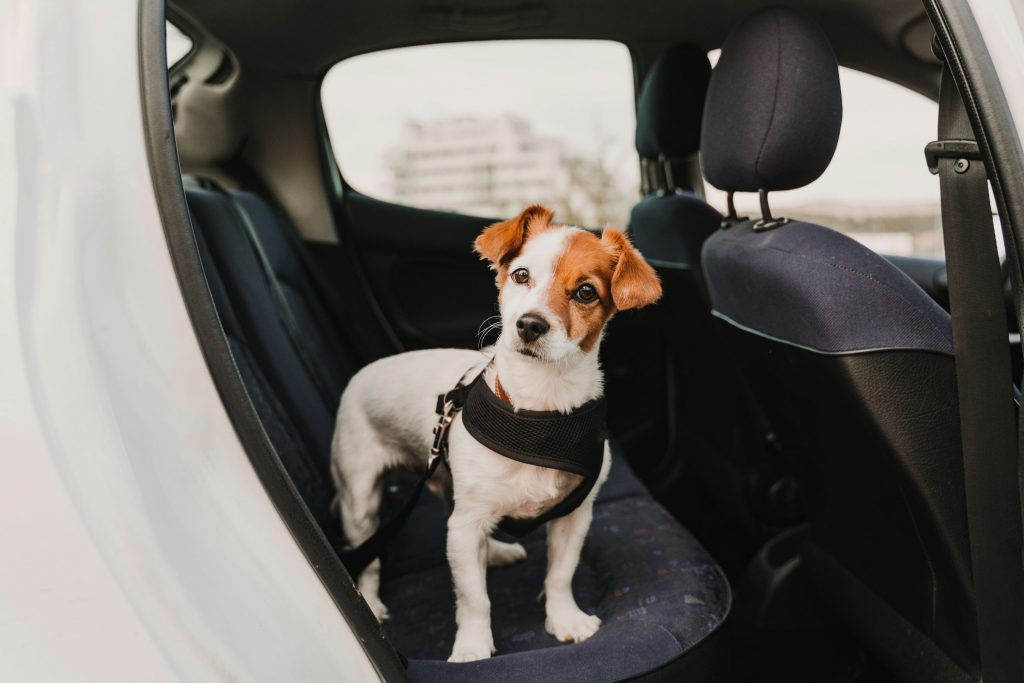 Dog riding in car.