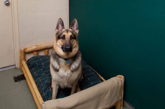German Shepard sitting on bed